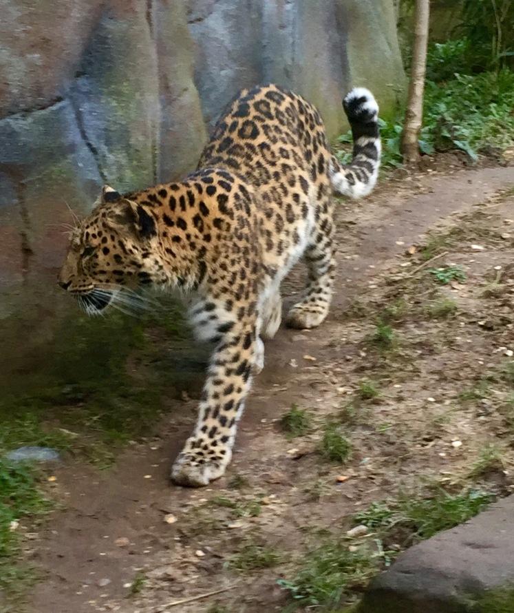 amur leopard colchester .jpg