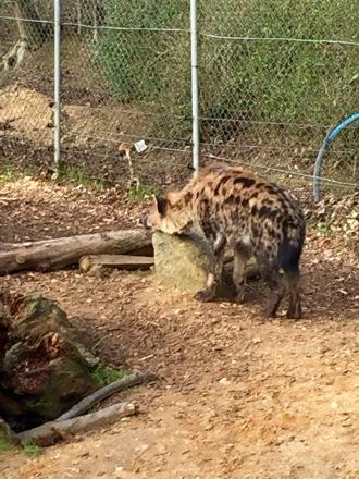 hyena lazy