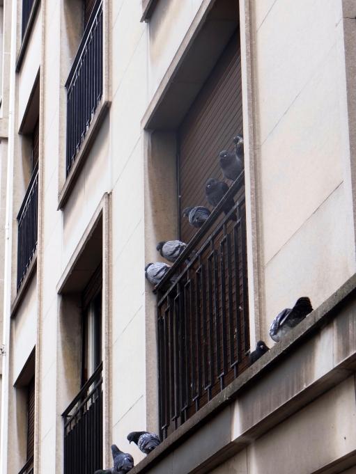 chatty pigeons