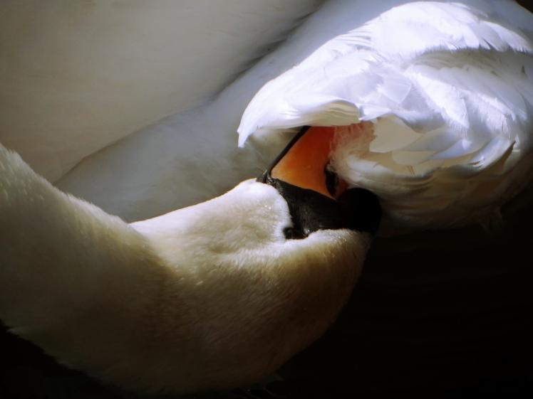 Swan - Favourite Edit