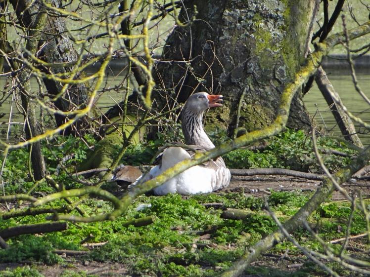 Territorial Grey Goose